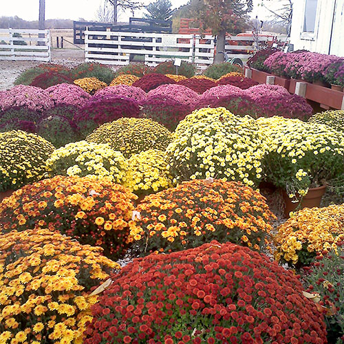 Full fall mums and great florals for sale at Howell's Pumpkin Patch